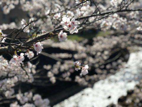 花まつり とね川さくらまつり